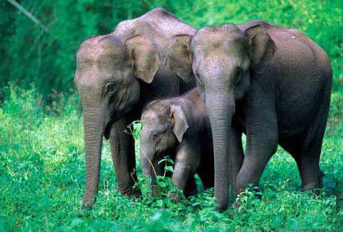 一片热带雨林风光,生长着亚洲野象,野牛,绿孔雀,猕猴等珍奇动物.